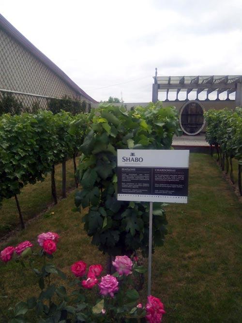 почему-розы-растут-возле-винограда